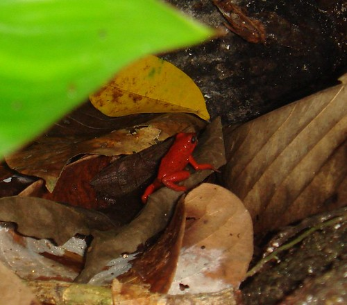 Ranita roja escondida en un tronco