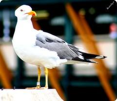 Yellow-legged Gulls ? (borboletazul) Tags: bird london canon eos gull uccelli brodge borboletazul