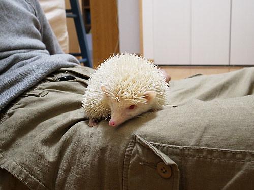 hedgehog Beth