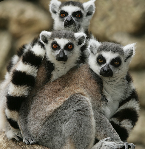 Did you know John Cleese has a species of lemur named after him?
