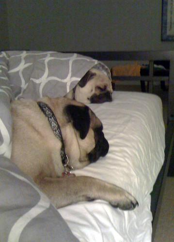 Snuggle Pugs
