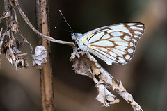 Black-veined white (wildviews) Tags: africa white butterfly african namibia etosha blackveined