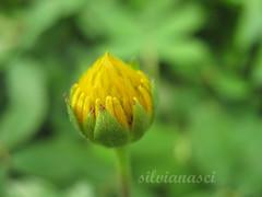 suavidade (Silvianasci) Tags: flor botao bemmequer twtme simno explore2009 silvianasci