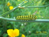 Colourful caterpillar (Ivan Ivanov95) Tags: caterpillar buzznbugz beautifulmonsters