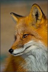 Sunny Fox (ifringe (david)) Tags: rescue usa newmexico nature sunshine animal closeup wildlife fox romeo sanctuary carnivore lateafternoon redfox vulpesvulpes ramah omnivore wildspiritwolfsanctuary pentaxk10d travelsofhomerodyssey
