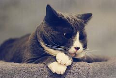 Felix McFatty (kimhaseightcats) Tags: felix lard porkchop chubs fattymcfat fattestcatevah formerskinnystray