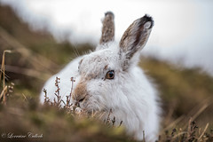 Mountain Hare (Lorraine Culloch) Tags: mountain hare cairngorms scotland winter