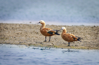 RUDDY SHELDUCK -:O:- EXPLORED -:O:- 18. 02. 17
