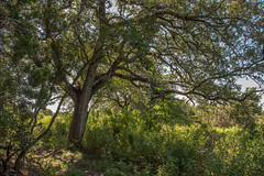 Live Oak - Government Canyon State Natural Area - Bexar County - Texas - 11 September 2016 (goatlockerguns) Tags: live oak government canyon state natural area bexar county texas nature park statepark trees tree forest hillcountry usa unitedstatesofamerica south southern southwest west