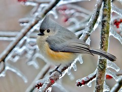 A COLD, HUNGRY TITMOUSE (JAMES F BURNS) Tags: cold hungry titmouse tufted little birds need needy thick ice layer birdsoftheworld birdsofamerica winter snow blizzard weather fuji sx1 james burns eat food cover covered digital camera