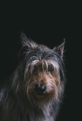 Miska (Mika Tuomela) Tags: portrait dog pet sigma 50mm sigma50mm nikon nikond750 lowkeyphoto strobist lighteffects lights lightningeffects photography sadface softlight details portraitphotohraphy