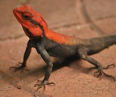 Red headed Peninsula Rock Agama (Sanjib Behera) Tags: portrait closeup garden reptile nursery lizard upclose jharkhand rockagama noamundi redheadedpeninsularockagama peninsularockagama
