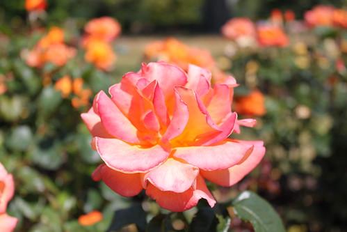 Rose Garden Greenwich Park