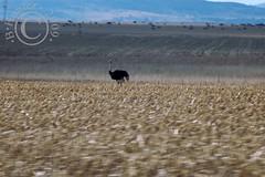 ZA ostrich cornfield N3
