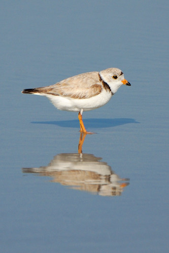 Piping Plover endangered species