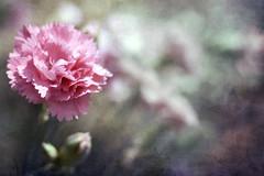 Into the Pink (sminky_pinky100 (In and Out)) Tags: pink blur flower texture floral dof sad arty butterflies creepy click carnation nosy fff lurker snooper blueribbonwinner personalbest fantasticflower mywinners omot citrit flickrsfantasticflowers exploreflowers damniwishitakenthat texturedtrésors beyondbokeh
