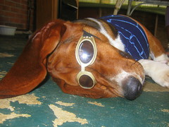 Fashionista (HoundsForever) Tags: boy dog sunglasses fashion shirt puppy fun funny dress top hound basset hunter funnydog pooch diva doggles bassette doggle