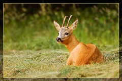 Rejected Casanova (hvhe1) Tags: male nature animal season searchthebest wildlife meadow deer antlers buck grassland roe roedeer casanova rejection rutting specanimal hvhe1 hennievanheerden animalexcellence vosplusbellesphotos
