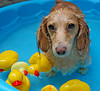 Duck Pond (Doxieone) Tags: blue orange dog wet water pool yellow duck interestingness cream rubber dachshund explore honey final blonde aaa coll 1002 final1 honeydog topfavorite explored englishcream honeyset honeyall pup2011 pupsinpoolset