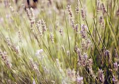 secrets (julia wang.) Tags: summer green field vineyard grape
