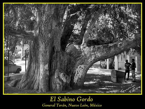 El Sabino Gordo