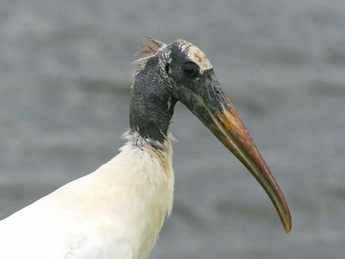 Wood Stork 2-20090831