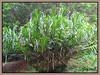 Gigantic clusters of Grammatophyllum speciosum (Tiger Orchid)