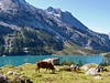 Moo (will_cyclist) Tags: switzerland cow cows hiking oeschinen cowsx