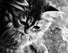 [ kiTy ] (z o z  ) Tags: bw white black animal cat nikon 1855mm d60 kity