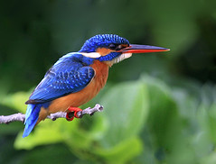 Common Kingfisher (Sara-D) Tags: blue color nature birds canon wildlife ngc kingfisher srilanka commonkingfisher alcedoatthis alcedinidae canon100400l asianwildlife mywinners eos400d birdsofsrilanka thewonderfulworldofbirds birdsofsouthasia wildsrilanka stunningphotogpin
