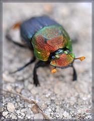 Rainbow Scarab Beetle (thedaner) Tags: black color macro nature animal female bug insect rainbow nikon florida metallic beetle micro kennedyspacecenter ksc antennae dung scarab coleoptera d90 scarabaeidae merrittislandnationalwildliferefuge phanaeusvindex rainbowscarab rainbowscarabbeetle rainbowdungbeetle
