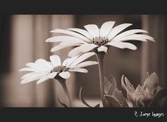 Tall Daisy (bahamadreamerofwi) Tags: flowers bw flower nature canon daisy picnik flickrchallengegroup flickrchallengewinner cmwdblackandwhite beginnerdigitalphotographychallengewinner sx10is hljphotography