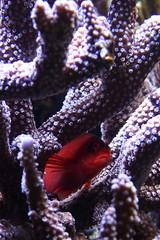 Hiding (Trinimoi) Tags: aquarium pennstate hiding redfish
