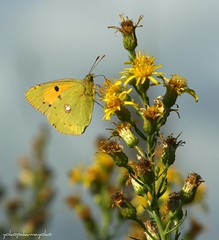 COLIAS crocea[]Butterflies of Sardinia[] (yokopakumayoko) Tags: sardegna italia limoncella nuoro coliascrocea lepidotteri irgoli fiorivolanti farfallediyokopakumayoko farfalledisardegna flickrbronzetrophygroup farfalleinsardegna giallocitrino biancoverdastra uovarossoarancio butterfliesofsardinia