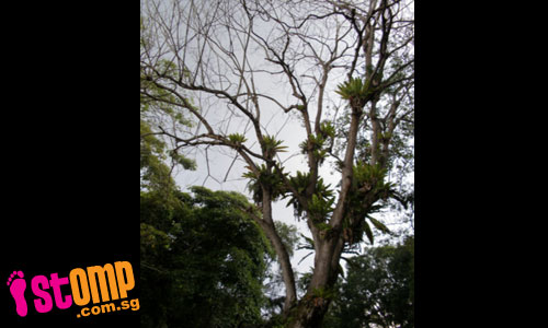 Are 'botak' trees weaker than trees with leaves?