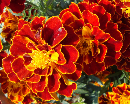 Red and gold dwarf marigolds