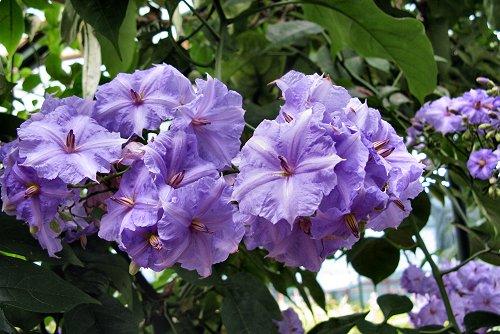 Solanum wendlandii (rq) - 03