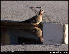 Laughing Dove in Al Sa'adah, Salalah, Dhofar (Shanfari.net) Tags: winter mountains nature lumix raw natural zoom full panasonic crop oman fz zufar rw2 salalah sultanate dhofar  khareef 18x          governate 486mm dofar fz38 fz35 dmcfz35  hamrair
