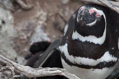 baudchon-baluchon-pinguins-3138