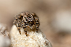 BEAUTIFULL JUMPER #2 (GOLDENORFE) Tags: macro insect spider spiders jumpingspider jumpingspiders