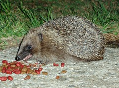 A Hedgehog in our Yard (Molly Moult) Tags: wild nature animal yard garden evening nocturnal wildlife hedgehog