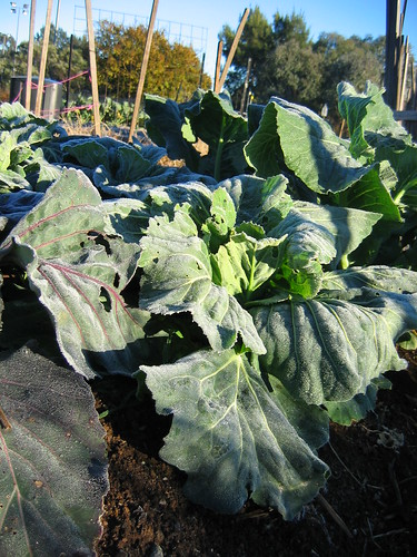Frosty cabbages