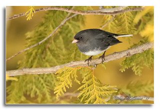 103A4705-DL   Junco ardoisé / Dark-eyed Junco.