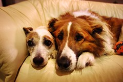 Couch Potatoes (Jim.jpg) Tags: portrait dog love dogs digital fur heidi jrt pentax connor canine couch jackrussell canines dogportrait colliemix tvdogs primelens