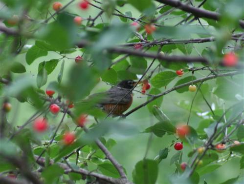 cherry robin