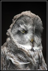 Ruffled Great Grey Owl (Andy's & Becky's Bits) Tags: friends zoo eyes feathers windy owl exmoor blustery strixnebulosa ruffled greatgrey platinumphoto platinumheartaward thewonderfulworldofbirds