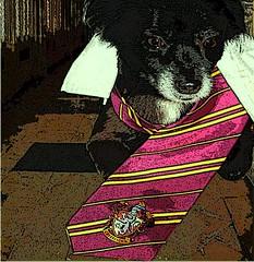 Sirius Black (LightStar*) Tags: dog cosplay harrypotter animales hogwarts siriusblack magia marauder canuto lunatico gryffindor cornamenta merodeadores colagusano