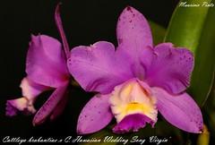 Cattleya brabantiae X C. Hawaiian Wedding Song 'Virgin' (Maurício Pinto) Tags: orchid flower color macro fleur colors cores flor orquidea fiori orchidee cor orquídea coleur
