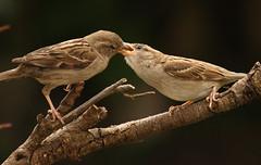 Feeding Time (Pensans) Tags: food brown house bird garden branch feeding wildlife wing beak feather seed sparrow twig british hungry feed