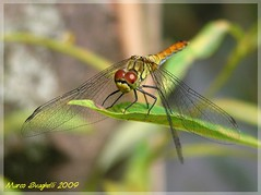 Foto_00010 (svag77) Tags: dragonfly insects insetti libellula gmt